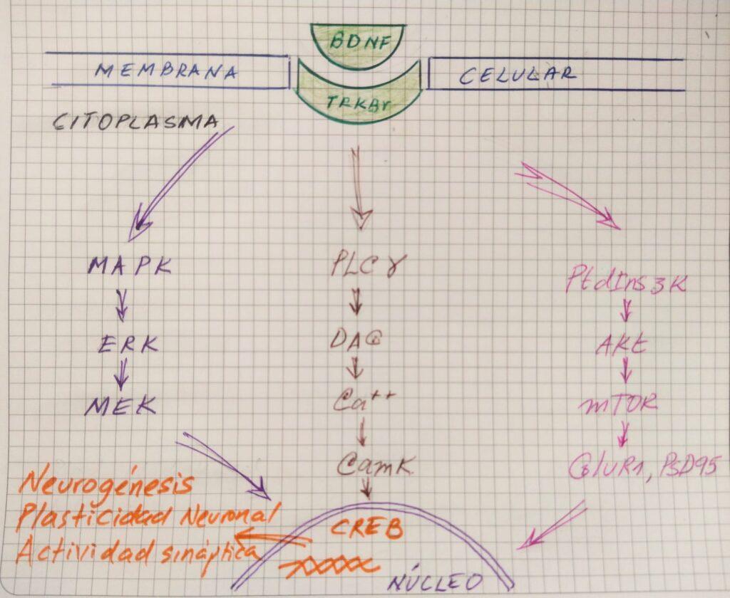 Factor Neurotrópico Derivado del cerebro BDNF y su efecto en la neurona