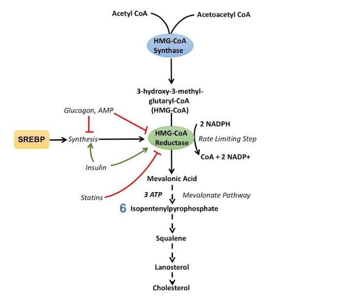 Biosynthesis of Cholesterol and the hormones and medicines that with their action on the HMG-CoA.