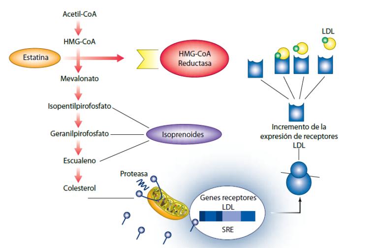 Esquema del metabolismo del colesterol y los factores que influyen en su nivel plasmático.