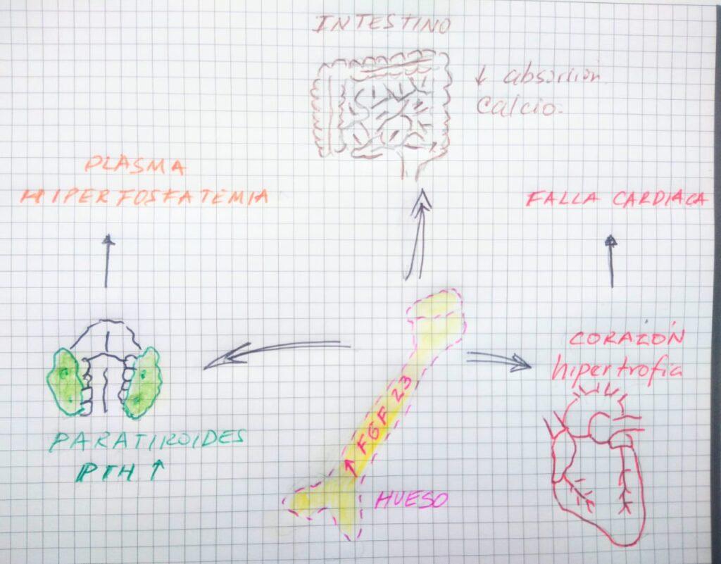 Esquema que muestra los efectos de la secreción de FGF23 por parte del hueso, en los diferentes tejidos. Parathormona, aumento de PTH; Corazón, hipertrofia ventricular; Intestino, absorción de calcio. Elaboración propia.