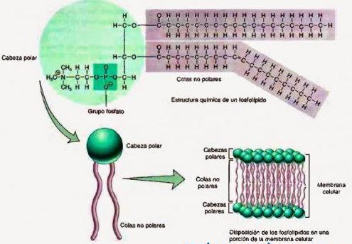 Esquema de los fosfolípidos y su relación con la membrana plasmática