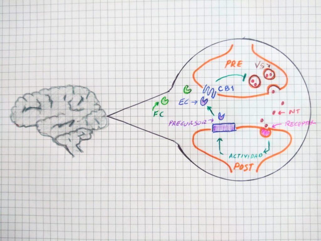 Sinapsis en el sistema endocannabinoide