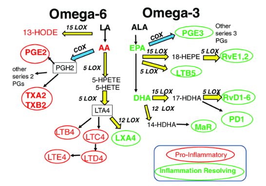 Metabolic pathway of omega 3 and 6