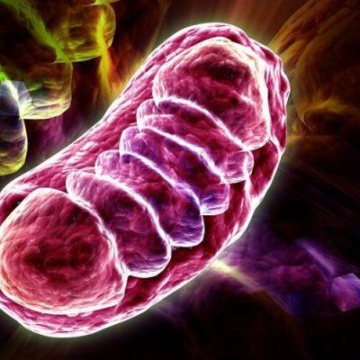 La respiración y la energía celular – La Mitocondria.
