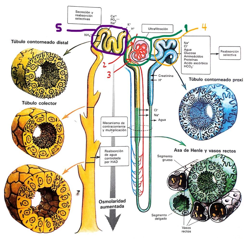 Esquema representativo de la unidad funcional renal, La Nefrona. La Nefrona está constituida por el Glomérulo encerrado en verde con número 1. Al glomérulo en donde entra una arteria eferente, señalada en rojo con el número 2 y sale una arteria aferente, señalada en rojo con el número 3. En el glomérulo ocurre la filtración, qué, inicialmente tiene los mismos componentes del plasma; en un riñón saludable no hay filtrado de proteínas ni células de la sangre, este filtrado sufre modificaciones a través de dos mecanismos, reabsorción de del 80% del agua y de varios solutos, y secreción de productos de desecho. El recorrido del filtrado pasa primero por el túbulo contorneado proximal, encerrado en naranja con el número 4; el segmento descendente del asa de Henle, segmento ascendente del asa de Henle, en donde ocurre un intercambio contracorriente de varias moléculas con los vasos rectos, que es un complejo cuyo objetivo es lograr que tanto el líquido intersticial como el contenido dentro de los túbulos sean hipertónicos; y finalmente al túbulo contornado distal, encerrado en morado con el número 5 y los túbulos colectores, cuya función es el ajuste del pH y del contenido hidroelectrolítico de la orina; los túbulos colectores nutren el cáliz del riñón y conforman el uréter por donde la orina cae a la vejiga.