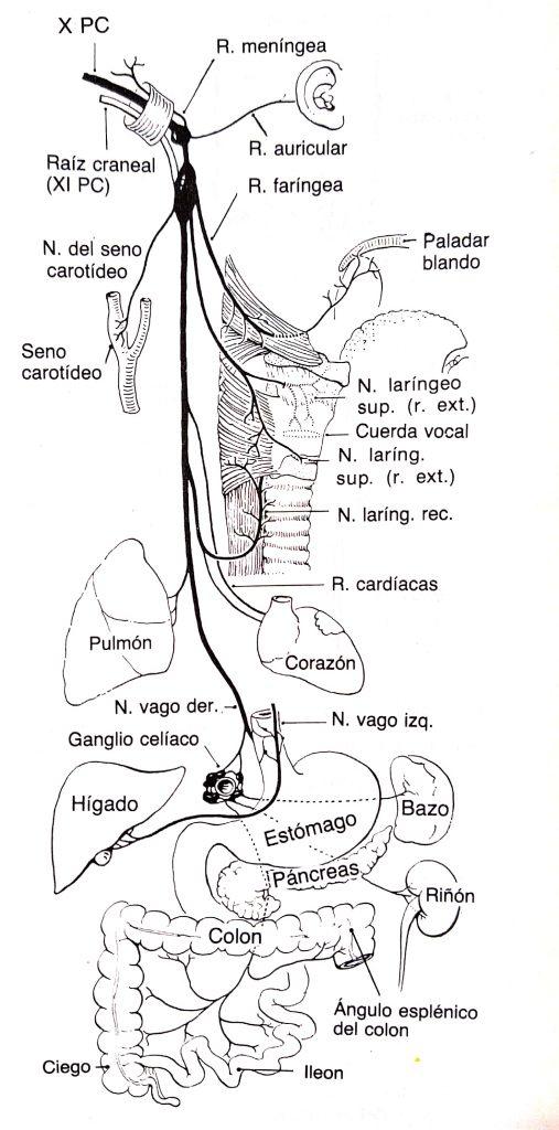 Nervio Vago y su interacción con el Intestino